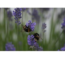 Bumble Bees Photographic Print