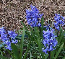 Blue Hyacinths by MidnightMelody