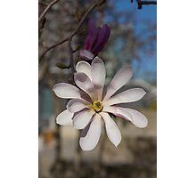 The Perfect Magnolia Blossom Photographic Print