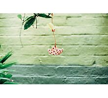 Hoya Blossom Photographic Print