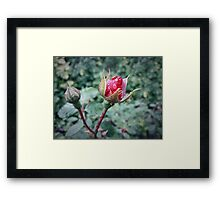 rose bud Framed Print