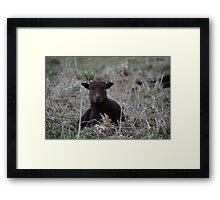 Manx Loaghtan Lamb Framed Print