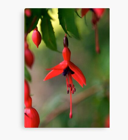 Single Wild Fuchsia Flower, Loch Na Fooey Canvas Print