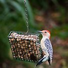 Red Bellied Woodpecker Feeding by David Lamb