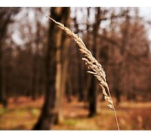 yellow dry blade of grass Photographic Print