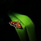 Pyrausta Aurata by Yool