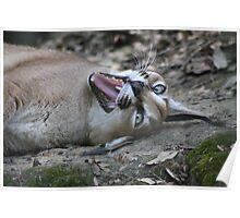 Playful Lynx Poster