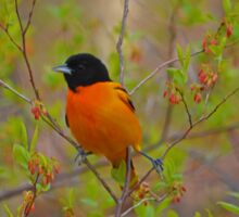 Icterus Galbula - Baltimore Oriole | Montauk, New York Sticker