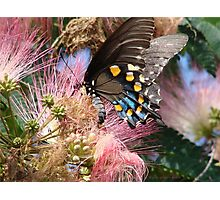 Pipevine Swallowtail Butterfly in Mimosa's Silky Blossoms Photographic Print