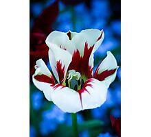 Red & White Iris Photographic Print