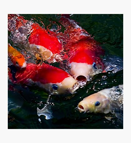 Koi feeding frenzy Photographic Print