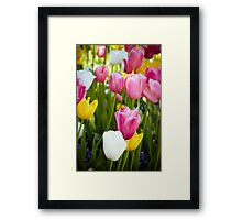 Pink White Yellow Tulips Framed Print