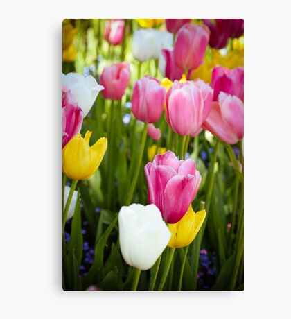 Pink White Yellow Tulips Canvas Print