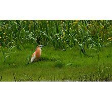 Squacco Heron Photographic Print