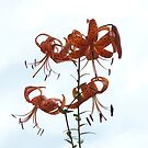 Tiger Lilies by Trish Meyer