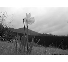 the black and white daffodil Photographic Print
