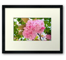 Pink Double Cherry Blossoms Framed Print