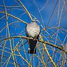 Pigeon Perch by Vicki Field
