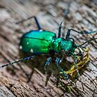 Green Tiger Beetle by Evelyn Laeschke
