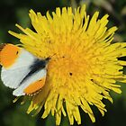 Orange Tip On Dandelion by Adrian Wale