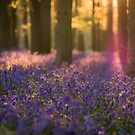Sunrise in the Bluebells by Mark Thompson