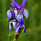 Iris Sibirica by SmoothBreeze7