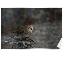 Barn Owl on a Ledge Poster