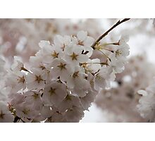 A Branch of Pale Pink Sakura Cherry Blossoms - Longing for Spring Photographic Print