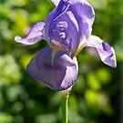 Purple Iris by Susie Peek
