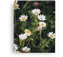 Close up of Wild Dasies Canvas Print
