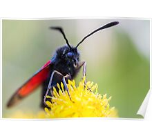 A Burnet moth rests on a yellow flower. Poster