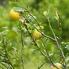 Lemon Tree by KMorral
