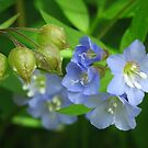 Jacob's Ladder Wildflowers  by lorilee