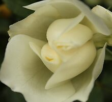 White rose flower picture. by naturematters