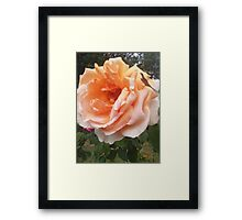 Saint Mark's Rose  Framed Print