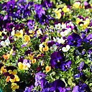 Cheerful Pansies by Cynthia48