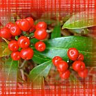 Holly Berries by MotherNature