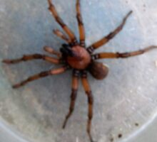 Large Agressive Spiders on front porch. Adelaide hills. Sticker