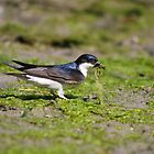 House Martin collecting algae by GreyFeatherPhot