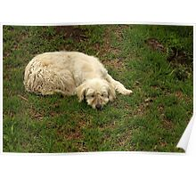 White Dog Sleeping Poster