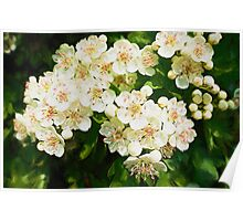 Bridal Wreath ( Oil Painting ) Poster