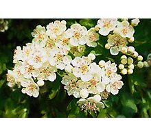 Bridal Wreath ( Oil Painting ) Photographic Print