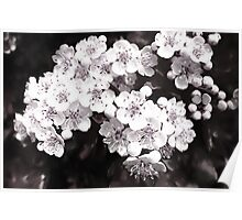 Bridal Wreath ( Black and White Panting ) Poster