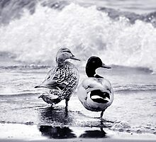 Mallard couple by Laurie Minor