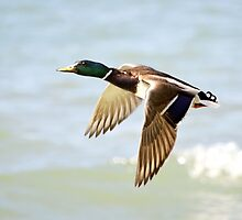Mallard in flight by Laurie Minor