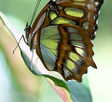 Madame Butterfly - Original by Jen Wahl