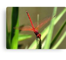 Beautiful Firecracker Dragonfly Canvas Print