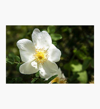 White petal Photographic Print