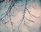 blossoms by Ingrid Beddoes