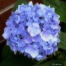 Gauzy Blues by RC deWinter